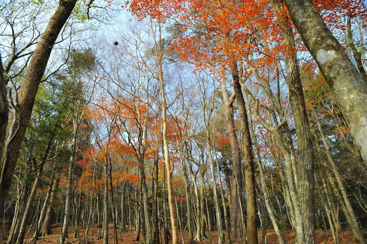 樫葉原生林